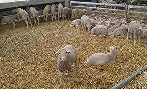 Projectes constructius de granges i construccions ramaderes