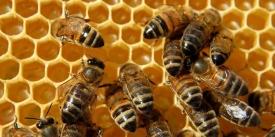 Ajuts apicultura