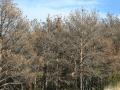 foto-plagues-forestals