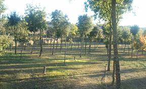 Plantacions forestals